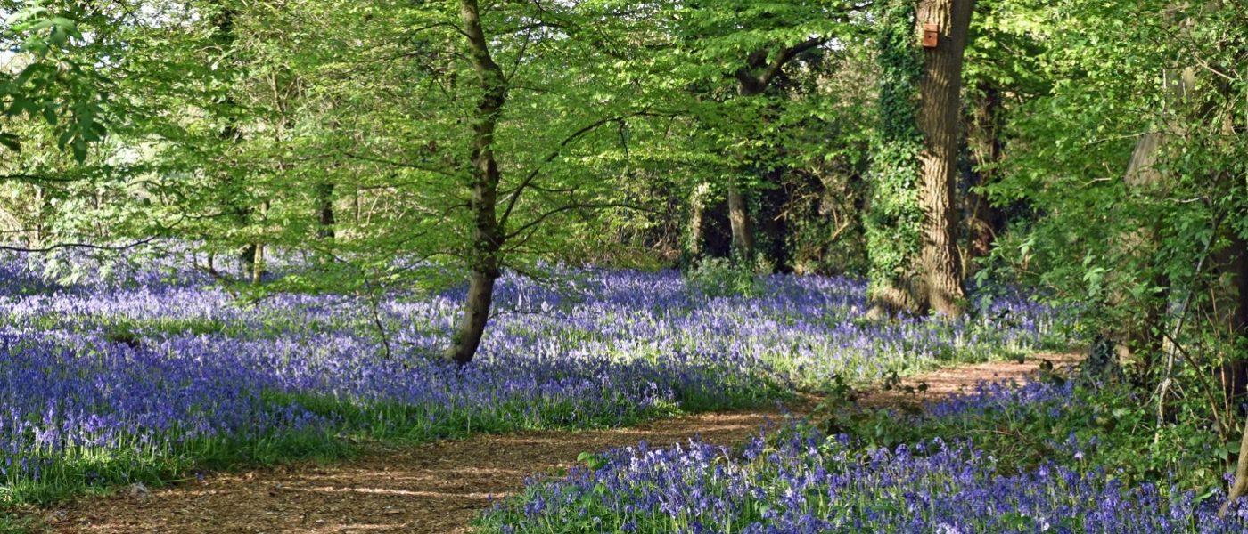 Bluebells in Winchfield Wood