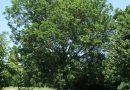 European or Common Ash