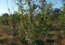 Field Maple