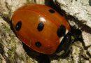 7-spot Ladybird on a mild winter's day