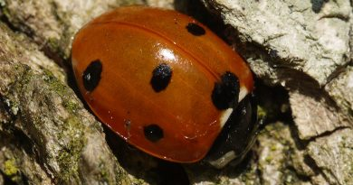 7-spot Ladybird on a mild winter's day