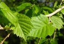 New species of fungus for Hertfordshire found at Highfield Park on Hazel