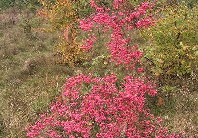 Common Spindle Tree